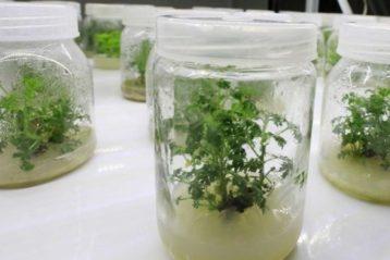 L'Artemisia dans un bocal.